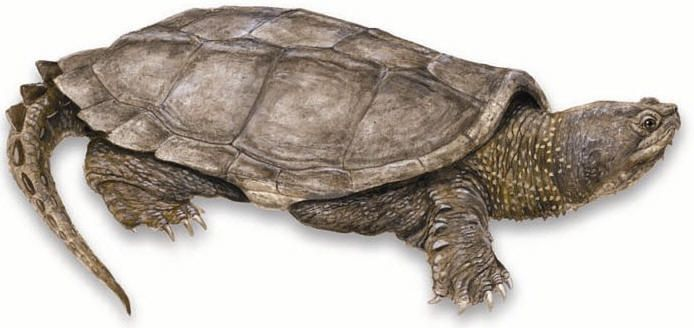snapping turtle foot - Google Search