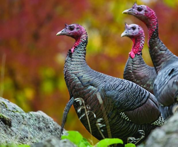 The Basics: How To Start Hunting Turkeys in the Fall | Field & Stream