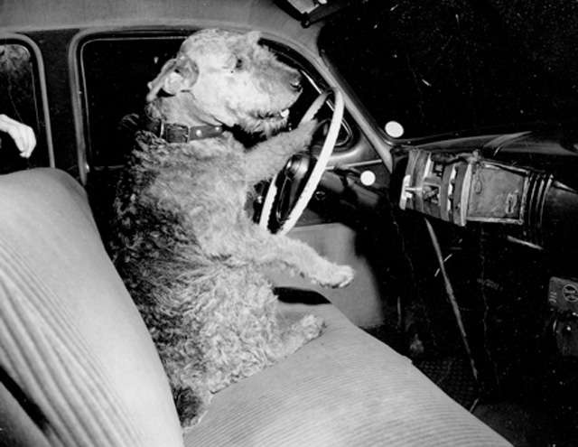 Warland Chief Invader, known as Chief, was a pedigreed Airdale Terrier owned by Charles Eldon Bull of 6 Bull's Lane. He liked to wander and his owner arranged for him to have an account with the Yellow Cab Company. They kept an eye out for him and brought him home when they saw him.