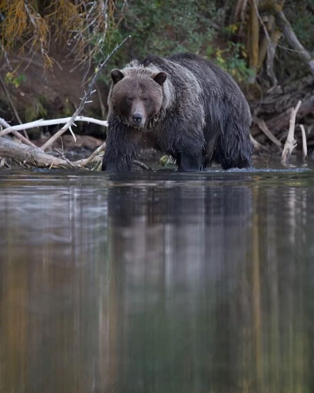 Can you help? @raincoastconservation needs to raise $500,000 to help end grizzly bear hunting in the Great Bear Rainforest. This money will allow them to buy a fourth commercial hunting permit for the tenure in the GBR, covering another 2300 sq KM. Please hit the link in my bio for more information 🙏🏻 #SaveTheGreatBears
