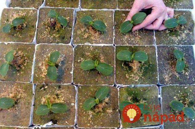 Ako zvýšiť úrodu uhoriek v dvoch krokoch!