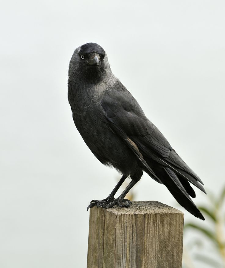 Crows Used Cars Crowsusedcars: 28 Best Images About Crows And Ravens On Pinterest