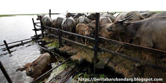 Warga Terkagun-Kagum Melihat Kerbau Mampu Berenang       POKER CIMB  - Wisata kerbau rawa di Kecamatan Paminggir masih menarik minat warga d...