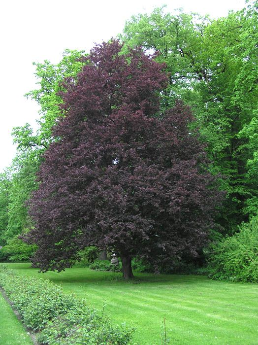 Uses For Beech Wood ~ Purple beech fagus sylvatica riversii shade trees