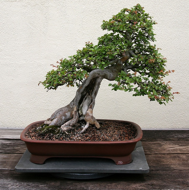 Chinese Elm (Ulmus parvifolia) - In training since 1946 - Photo by cliff1066™ Cliff