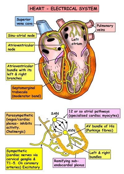 The heart's electrical system