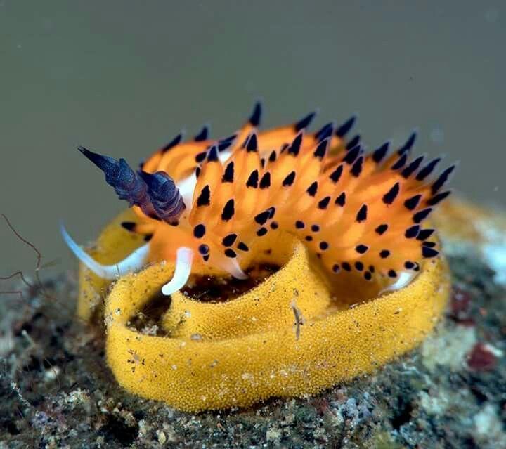 Nudibranch laying eggs