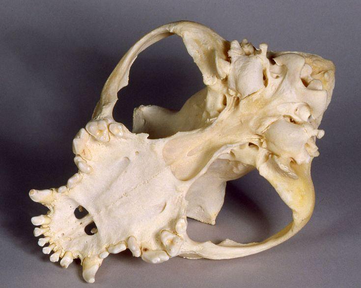 Skeleton Of Boxer Dog And Bones Named