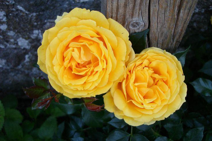 'The girl from yesterday'™ Floribunda ros. 40-60 cm hög. Stora fyllda blommor med stark gul färg. Blommar från sommar till sen höst.