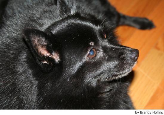 I was raised with a schipperke, who was the Angel and light of my life!    http://www.mundoanimalia.com/perro/Schipperke/fotos
