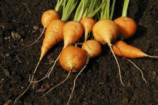 Pour aménager mon jardinet : sélection de légumes pour le potager et compagnonnage de source sûre (Jardin Botanique de Montréal)