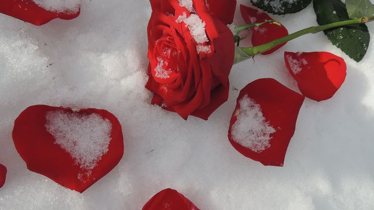 The roses lay there where they had fallen, scattered petals blood-red in pristine snow, testimony to the tears of unrequited love, to a fractured heart…