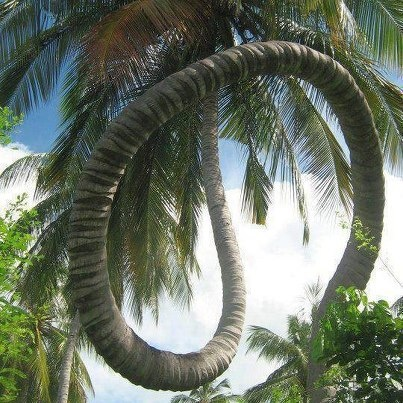 Unbelievable coconut tree!