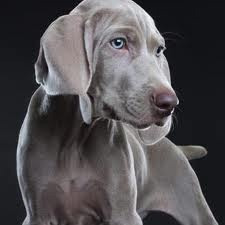 perros weimaraner