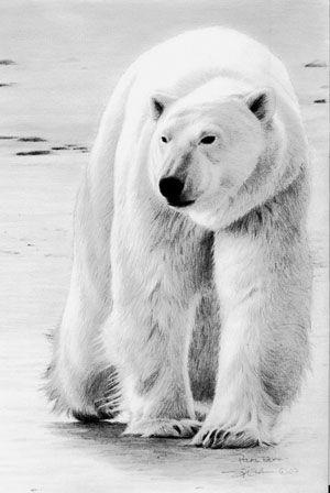 Pencil Drawings of Polar Bears | Polar Bear Pencil