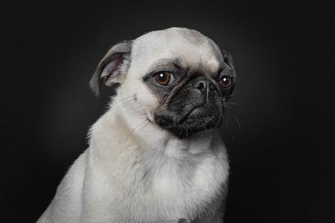 Distinguished, serious pug giving you stink eye.  If this were my pug I'd frame a huge version of this and place it over a fireplace or at the bottom of a stairwell.
