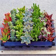 4 online catalog pages of Indoor Succulents & House Plants: A selection of Soft Succulent plants ideal for use indoors or in low light conditions. These plants will make exotic displays in your house or office