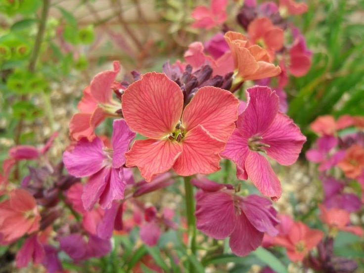 Erysimum linifolium