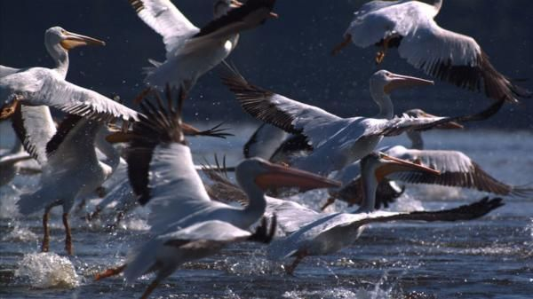 The white pelican breeds in North America and migrates south in the winter to coasts as far as Central America in flocks of up to 180 individuals.