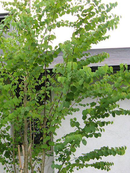 Cercidiphyllum japonicum (grujecznik japoński)