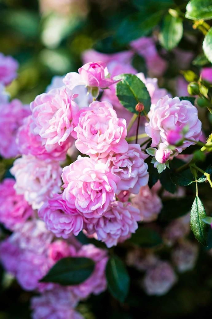 How To Prune Anything From Roses To Climbing Plants Climbing Plants Prune Ros Climbing Plants Plantsclimbing Pru In 2020 Climbing Plants Planting Roses Plants