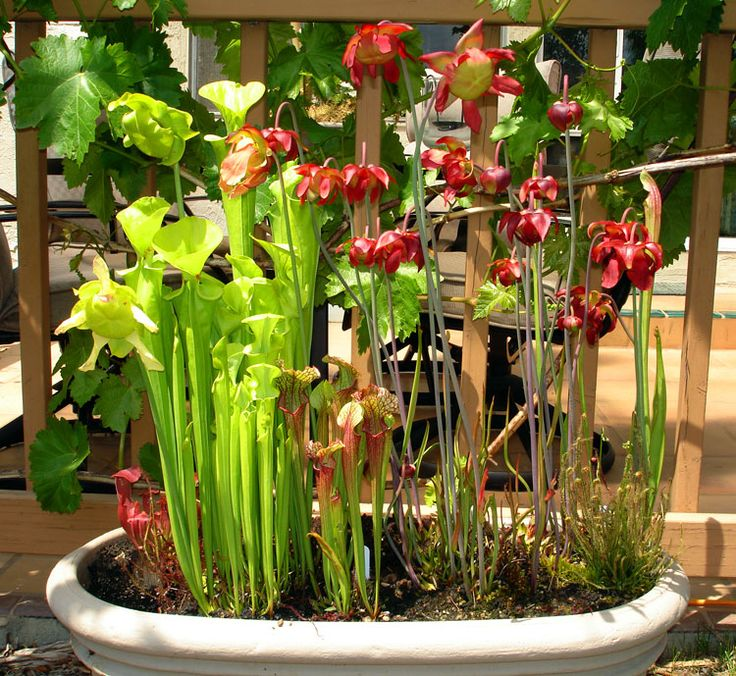 Brokken's Mini-bogs (Picture Intensive!)   International Carnivorous Plant Society