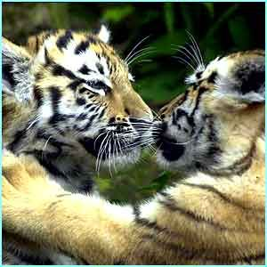 """""""Give us a kiss then!"""" Gaya and Lyes, two of three Siberian tiger cubs in their first public appearance at Edinburgh Zoo.  CBBC Newsround 