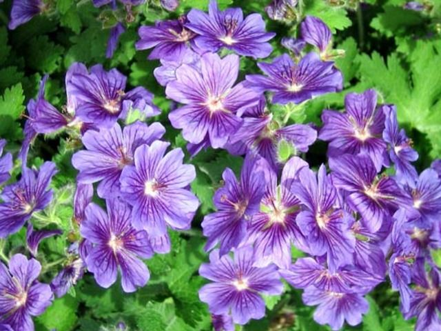 Viac ako 25 najlep ch n padov na pintereste na t mu geranium vivace pelarg nie planter - Quand planter les geraniums ...