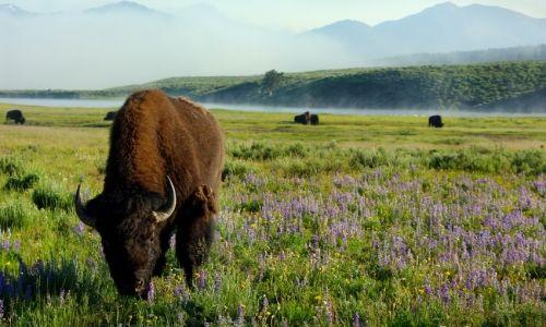 Yellowstone: Spaces, Buffalo, Favorite Places, Bison, Yellowstone Park, Wildlife Nationalparks, Travel, Yellowstone National Parks