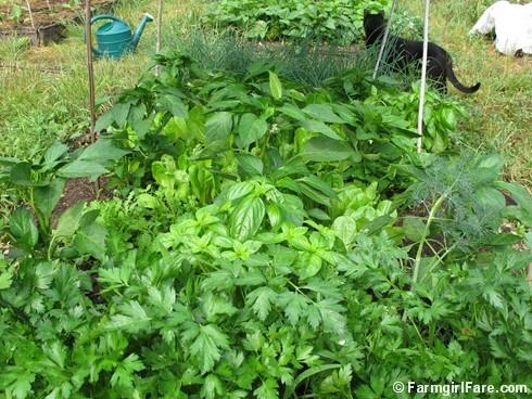 Companion Planting In My Kitchen Garden Parsley Basil 640 x 480