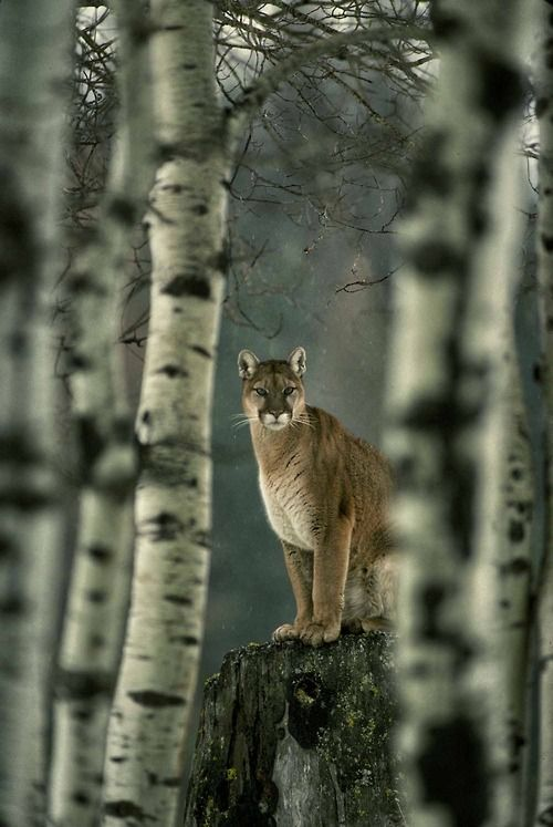 mountain lion he saw you long before you saw him! They know where you are as soon as you walk into the forest!