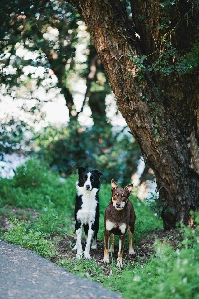 My babies - Zeek (Red Cloud Kelpie) and Jack (Short haired Border Collie).