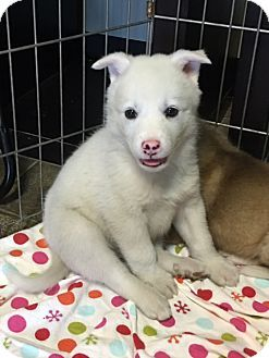 Facts about Apple      Breed: Husky/Akita Mix     Color: White     Age: Puppy     Size: Large 61-100 lbs (28-45 kg)     Sex: Male. Available at Fur Baby Rescue, Los Angeles,CA.