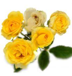 Mawar Floribunda Kuning Rp 35,000
