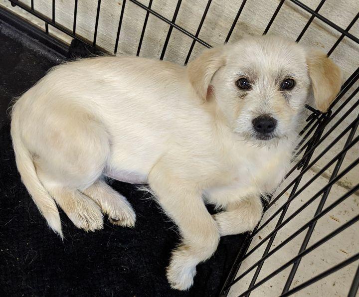 Adopt Havarti On Dog Adoption Baby Dachshund Terrier Mix Dogs