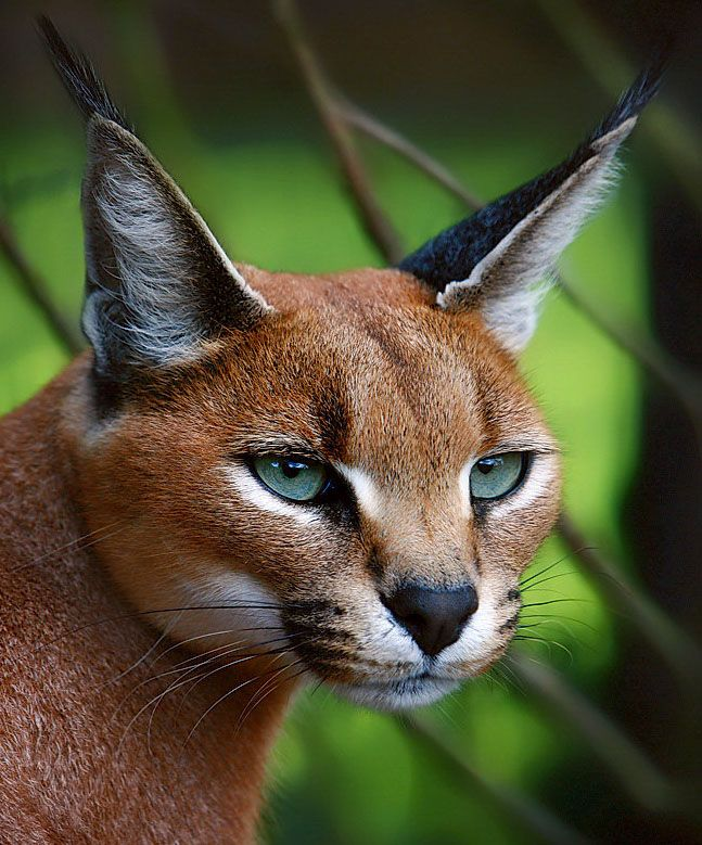 Caracal... Caracal cats are hunters, caracal cats grow to three feet long.