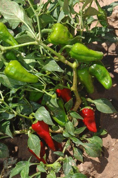 Growing Chiles in New Mexico - An important cash crop for farmers, with appx. 8,000 to 10,000 acres harvested annually in New Mexico