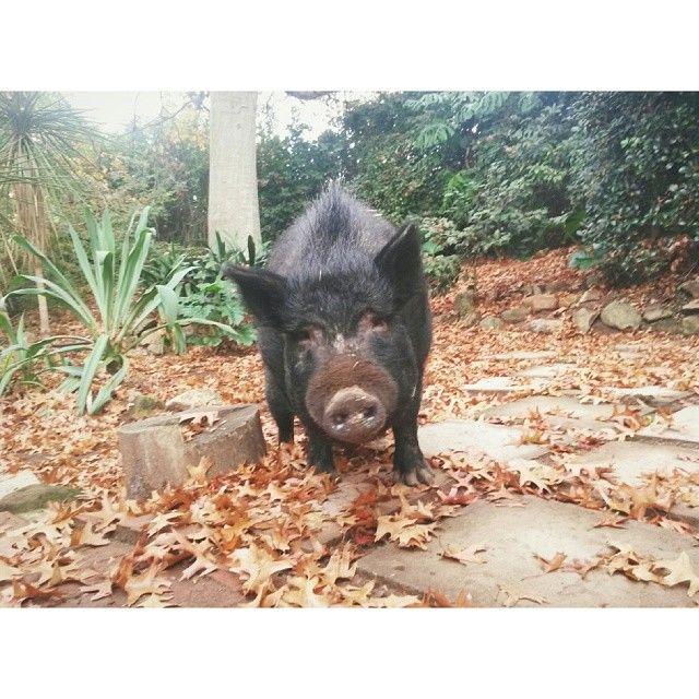 Emma Philip designer - My pig Nellie's autumn face    #pig