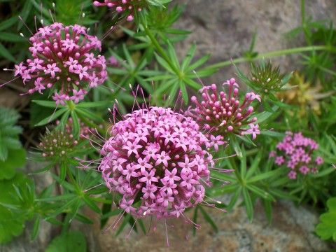 Фуопсис: розовый ковер для альпийской горки