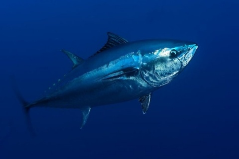 The Atlantic bluefin tuna is well-known as one of the largest, fastest, and most gorgeously colored of all the world's fishes. The torpedo-shaped animals have declined alarmingly over the past few decades