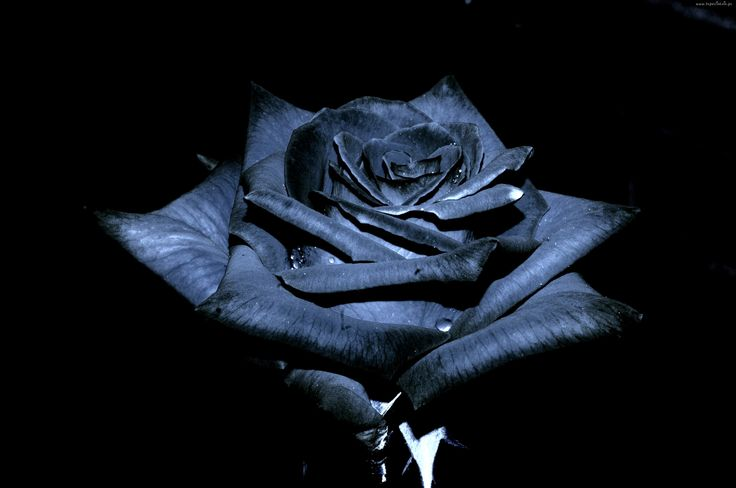 Czarna, Róża
