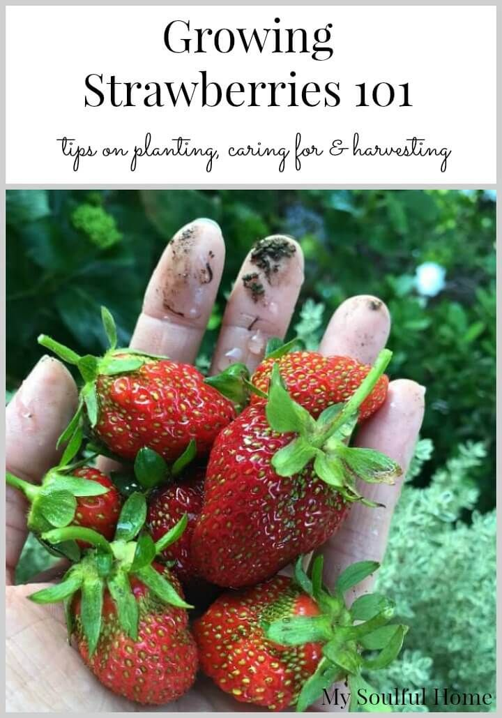 best 25 strawberry plant care ideas on pinterest growing vegetables growing peppers and easy to grow vegetables