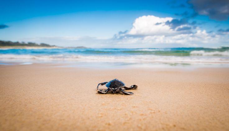 Hatchling turtle on Cylinder Beach | Stradbroke Island Photography