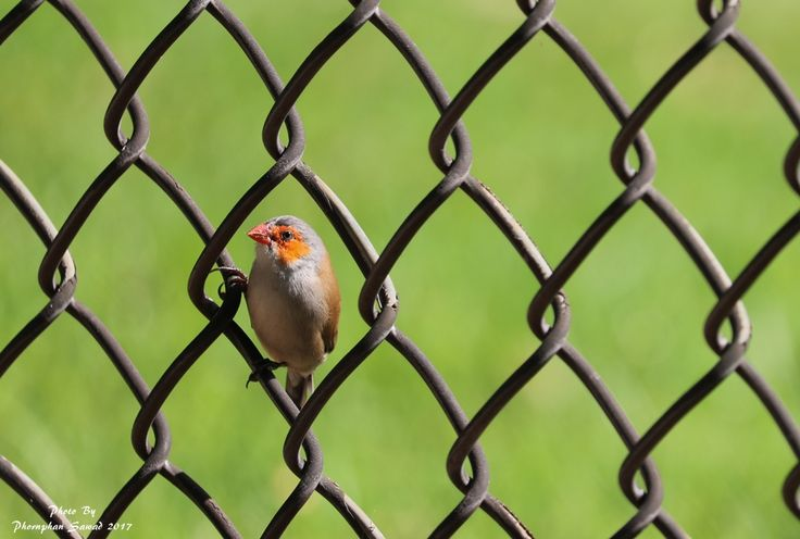 นกกระจ บแก มส ม Orange Cheeked Waxbill