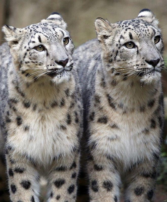 ним фото снежных барсов ягуаров одной