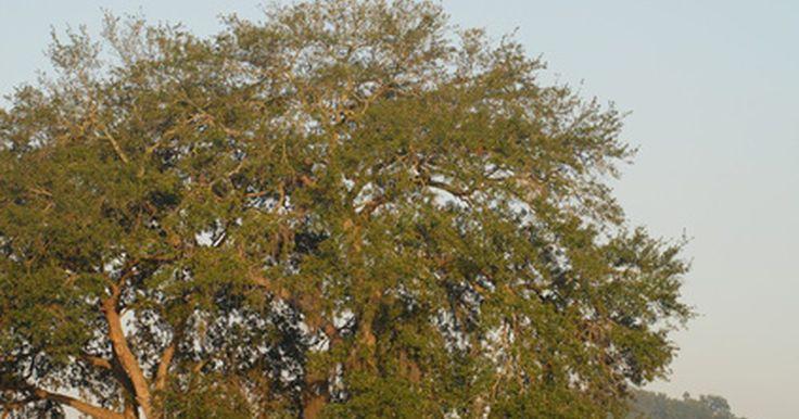 Árvores de sombra não-caducas. Árvores caducas perdem suas folhas no inverno e crescem novamente na primavera, enquanto árvores não-caducas - também conhecidas como perenes - mantêm suas folhas durante todo o ano. Árvores não-caducas são opções sensatas para se usar como árvores de sombra, pois suas folhas fornecem abrigo do sol e da chuva durante todo o ano.