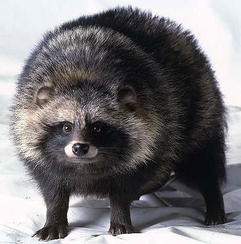 "The raccoon dog, which is not a raccoon, is a member of the Canid family (which includes dogs, wolves and coyotes). Originally the animal was from the Pacific coast of Russia, China, Japan, and Korea, but has been exported to Eastern Europe and Scandinavia as a fur animal. It's an omnivore but apparently can eat toxic toads by using an ""excess of saliva""."