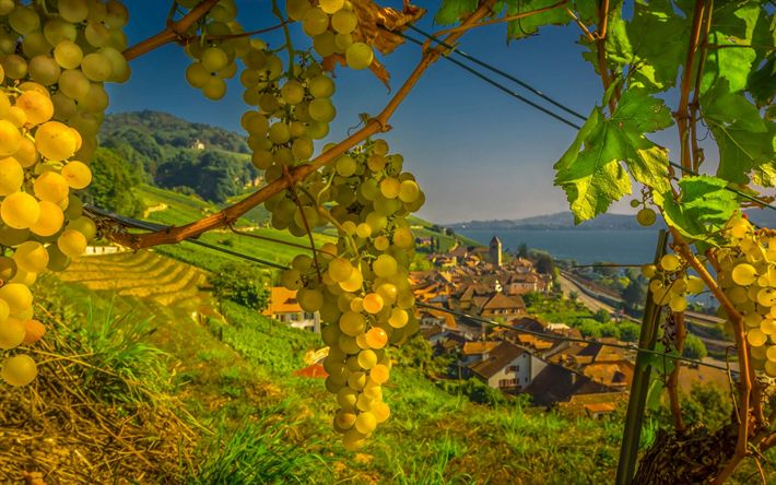 Download wallpapers grapes, autumn, harvest, bunch of grapes, Twann, Switzerland