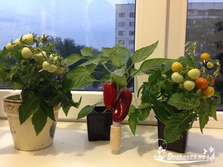 Помидоры зимой? – Запросто! Мини-огород на подоконнике – затея хорошая. В таком мини - огородике можно запросто вырастить зеленый лучок, пряные травы, салат, перчики, и любимые помидоры http://ogorodko.ru/pomidory-na-podokonnike-vsego-za-paru-mesyacev.html. Правда, для выращивания на подоконнике, подойдут далеко не все сорта помидор. Это, в первую очередь, высокорослые сорта. Для данной цели, лучше всего выбрать карликовые томатики, такие, например, как: Томат Аляска (серия Урожай на окн...
