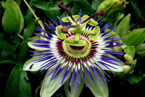 Pasionaria The Jesuchrist passion flower...
